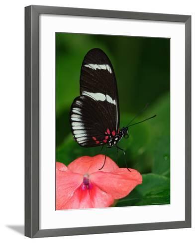 Small Postman Butterfly-Adam Jones-Framed Art Print