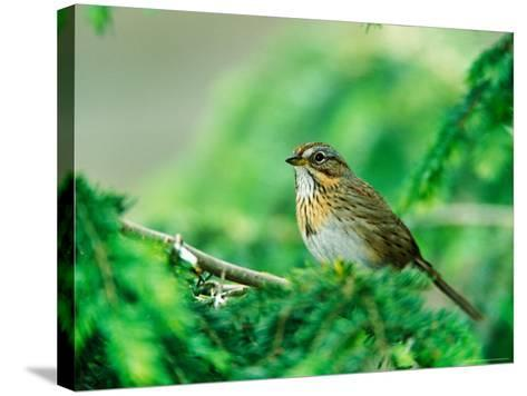 Lincoln's Sparrow-Adam Jones-Stretched Canvas Print