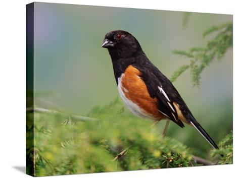 Male Rufous-Sided Towhee-Adam Jones-Stretched Canvas Print