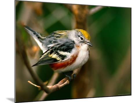 Male Chestnut-Sided Warbler-Adam Jones-Mounted Photographic Print