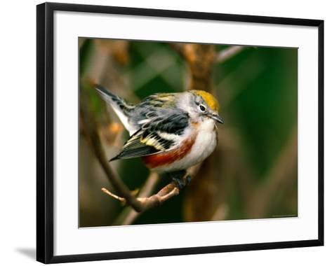 Male Chestnut-Sided Warbler-Adam Jones-Framed Art Print