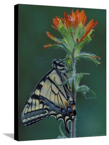Tiger Swallowtail on Indian Paintbrush, Houghton Lake, Michigan, USA-Claudia Adams-Stretched Canvas Print