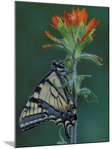 Tiger Swallowtail on Indian Paintbrush, Houghton Lake, Michigan, USA-Claudia Adams-Mounted Photographic Print