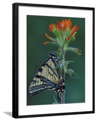 Tiger Swallowtail on Indian Paintbrush, Houghton Lake, Michigan, USA-Claudia Adams-Framed Art Print
