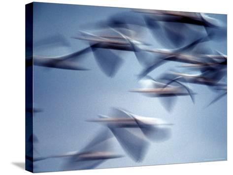 Snow Geese in Flight at the Skagit Flats of Washington State, USA-Charles Sleicher-Stretched Canvas Print