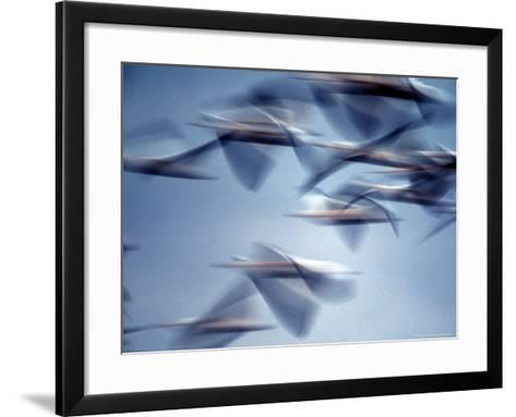 Snow Geese in Flight at the Skagit Flats of Washington State, USA-Charles Sleicher-Framed Art Print