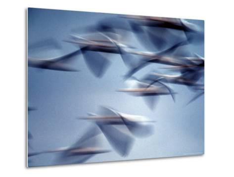 Snow Geese in Flight at the Skagit Flats of Washington State, USA-Charles Sleicher-Metal Print