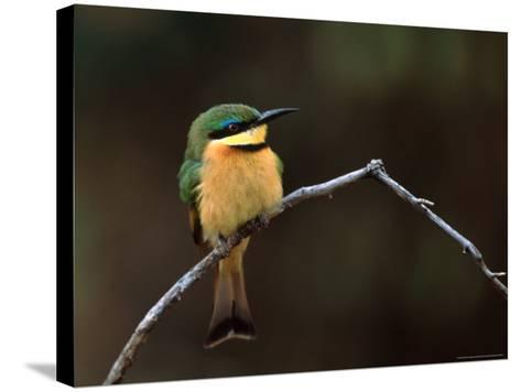 Little Bee Eater, Kenya-Charles Sleicher-Stretched Canvas Print