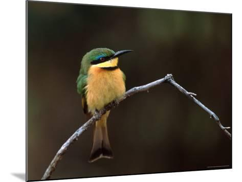 Little Bee Eater, Kenya-Charles Sleicher-Mounted Photographic Print