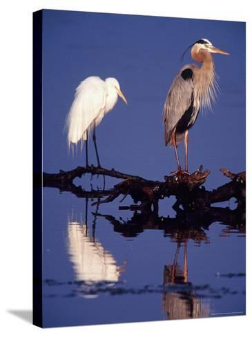 Great Egret and Great Blue Heron on a Log in Morning Light-Charles Sleicher-Stretched Canvas Print