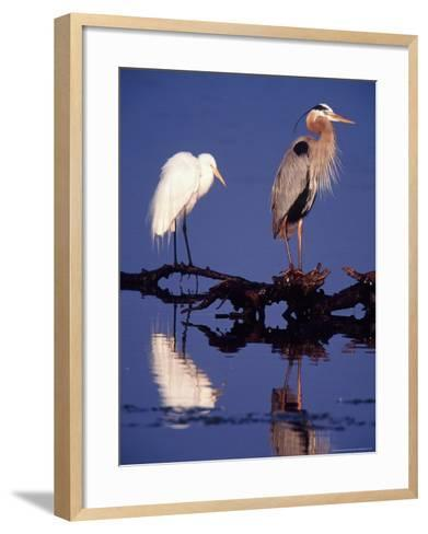 Great Egret and Great Blue Heron on a Log in Morning Light-Charles Sleicher-Framed Art Print