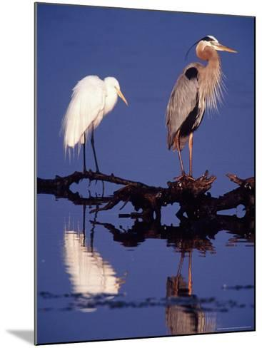 Great Egret and Great Blue Heron on a Log in Morning Light-Charles Sleicher-Mounted Photographic Print