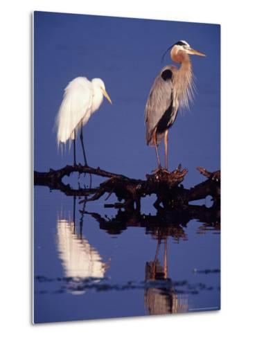 Great Egret and Great Blue Heron on a Log in Morning Light-Charles Sleicher-Metal Print