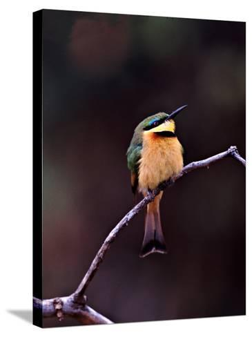 Little Bee-Eater, Kenya-Charles Sleicher-Stretched Canvas Print