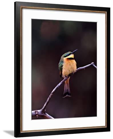 Little Bee-Eater, Kenya-Charles Sleicher-Framed Art Print