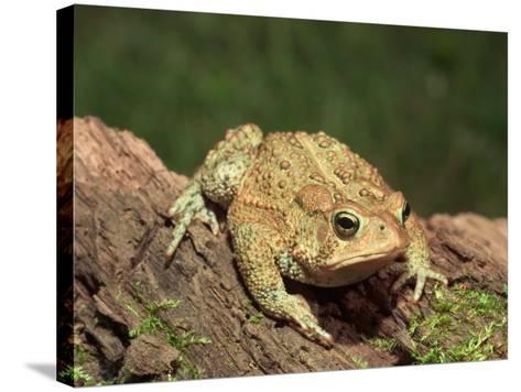 American Toad on Log, Eastern USA-Maresa Pryor-Stretched Canvas Print