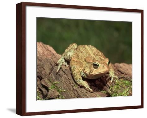 American Toad on Log, Eastern USA-Maresa Pryor-Framed Art Print