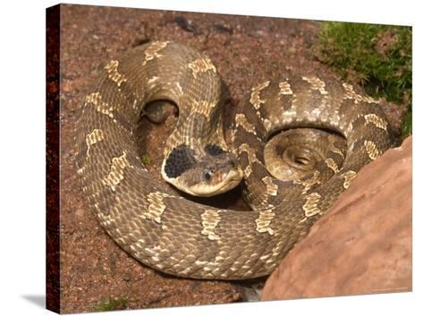 Eastern Hognose Snake Showing Excited Cobra-like Flaring of the Neck, Eastern US-Maresa Pryor-Stretched Canvas Print