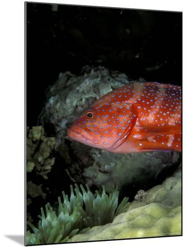 Coral Grouper-Michele Westmorland-Mounted Photographic Print