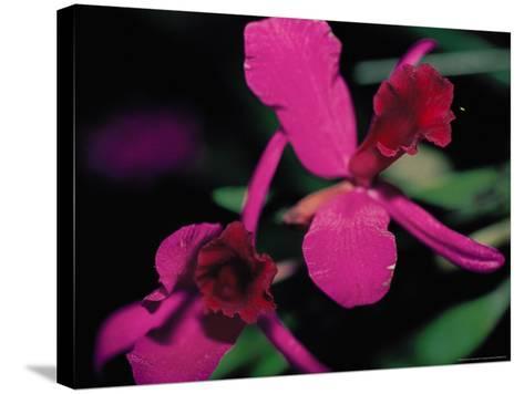 Magenta Orchid, Fiji-Dee Ann Pederson-Stretched Canvas Print