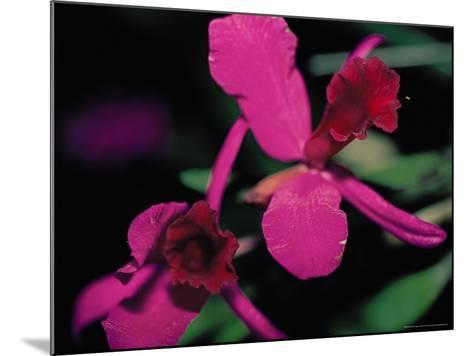 Magenta Orchid, Fiji-Dee Ann Pederson-Mounted Photographic Print