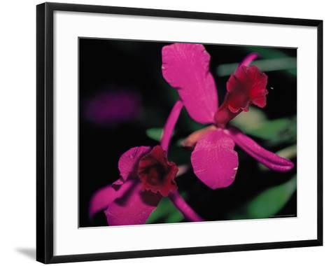 Magenta Orchid, Fiji-Dee Ann Pederson-Framed Art Print