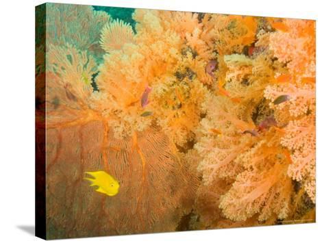 Golden Dream Reef, Bligh Water Area, Viti Levu, Fiji Islands, South Pacific-Stuart Westmoreland-Stretched Canvas Print
