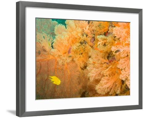 Golden Dream Reef, Bligh Water Area, Viti Levu, Fiji Islands, South Pacific-Stuart Westmoreland-Framed Art Print