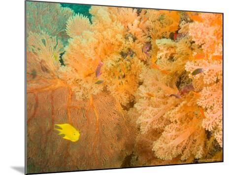 Golden Dream Reef, Bligh Water Area, Viti Levu, Fiji Islands, South Pacific-Stuart Westmoreland-Mounted Photographic Print