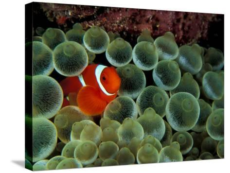 Spinecheek Anemonefish, Papua New Guinea-Michele Westmorland-Stretched Canvas Print