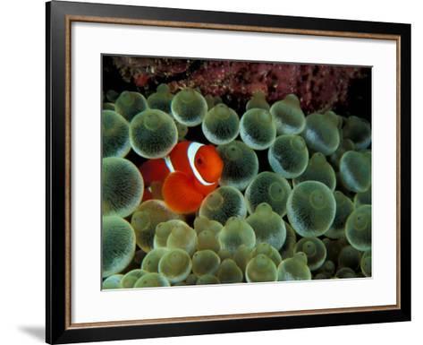 Spinecheek Anemonefish, Papua New Guinea-Michele Westmorland-Framed Art Print