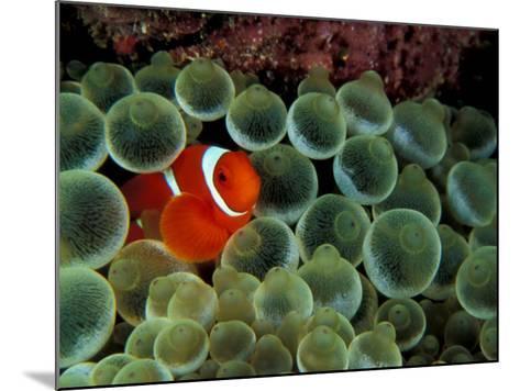 Spinecheek Anemonefish, Papua New Guinea-Michele Westmorland-Mounted Photographic Print