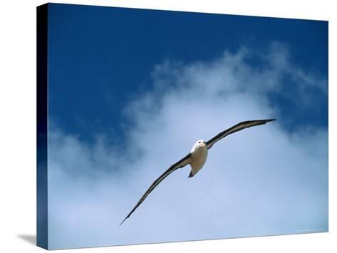 Black-Browed Albatross in Flight, Argentina-Charles Sleicher-Stretched Canvas Print