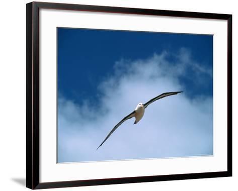 Black-Browed Albatross in Flight, Argentina-Charles Sleicher-Framed Art Print
