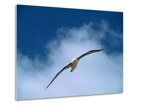 Black-Browed Albatross in Flight, Argentina-Charles Sleicher-Metal Print