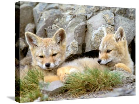 Patagonia Fox, Torres del Paine National Park, Chile-Gavriel Jecan-Stretched Canvas Print