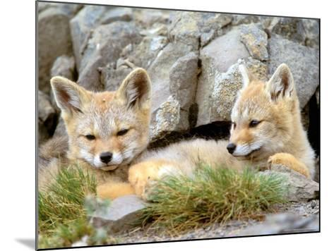 Patagonia Fox, Torres del Paine National Park, Chile-Gavriel Jecan-Mounted Photographic Print