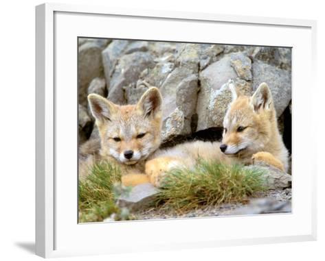 Patagonia Fox, Torres del Paine National Park, Chile-Gavriel Jecan-Framed Art Print