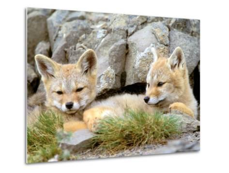 Patagonia Fox, Torres del Paine National Park, Chile-Gavriel Jecan-Metal Print