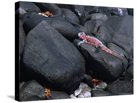 Marine Iguana and Sally Lightfoot Crabs, Galapagos Islands, Ecuador-Charles Sleicher-Stretched Canvas Print