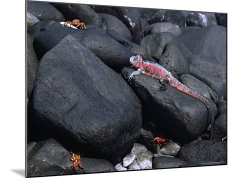 Marine Iguana and Sally Lightfoot Crabs, Galapagos Islands, Ecuador-Charles Sleicher-Mounted Photographic Print