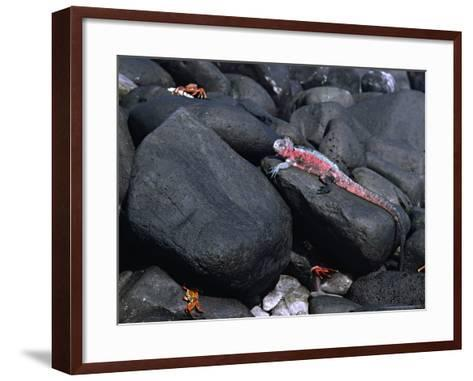 Marine Iguana and Sally Lightfoot Crabs, Galapagos Islands, Ecuador-Charles Sleicher-Framed Art Print