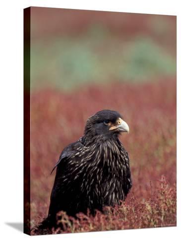 A Johnny Rooks in Sheep Sorel, Steeple Jason Island, Falklands-Hugh Rose-Stretched Canvas Print