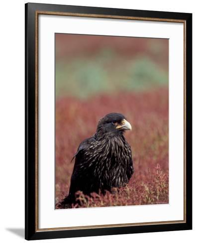 A Johnny Rooks in Sheep Sorel, Steeple Jason Island, Falklands-Hugh Rose-Framed Art Print