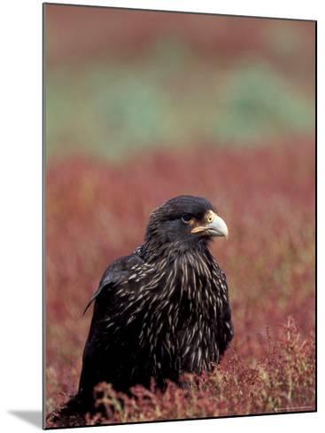 A Johnny Rooks in Sheep Sorel, Steeple Jason Island, Falklands-Hugh Rose-Mounted Photographic Print