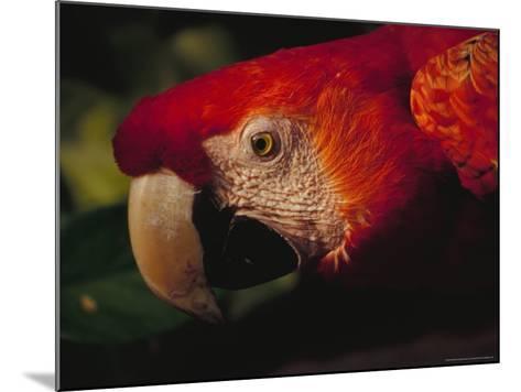 Colorful Macaw, Antigua, Guatemala-John & Lisa Merrill-Mounted Photographic Print