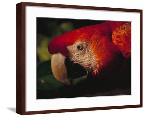 Colorful Macaw, Antigua, Guatemala-John & Lisa Merrill-Framed Art Print