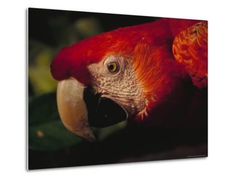 Colorful Macaw, Antigua, Guatemala-John & Lisa Merrill-Metal Print