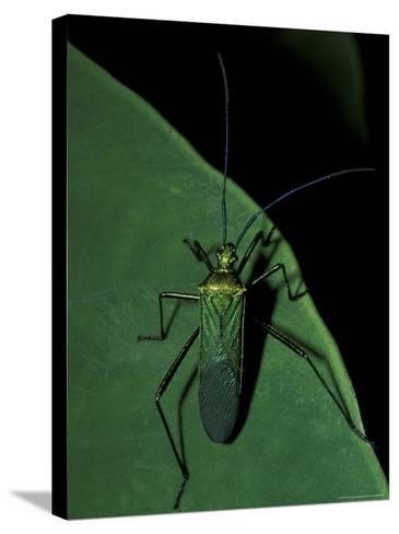 Jungle Bug, Madre de Dios, Peru-Andres Morya-Stretched Canvas Print