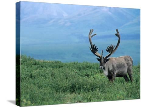 Caribou and Fresh Snow, Denali National Park, Alaska, USA-Howie Garber-Stretched Canvas Print